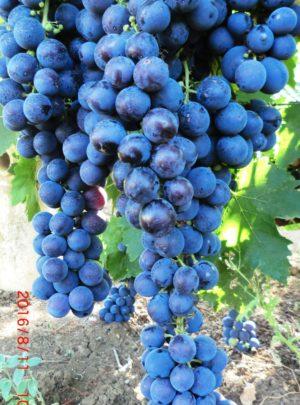 виноград Волгоградский ранний