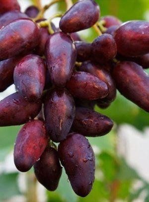 Журавчик вишневый