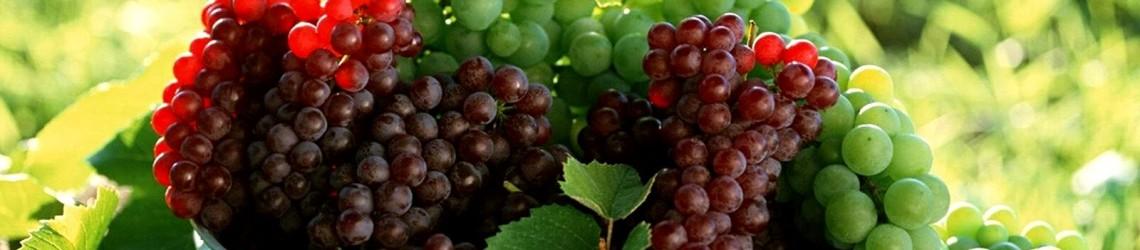 Селекционный виноград