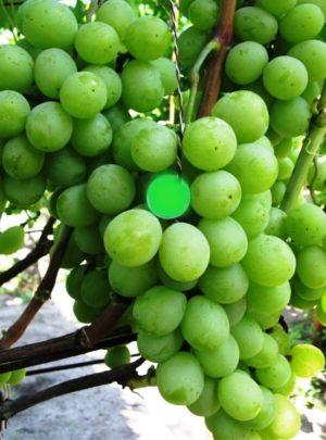 виноград Смагард