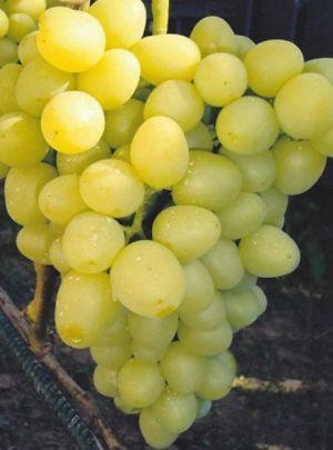 виноград Тара