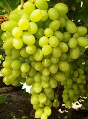 """виноград Кишмиш """"Столетие"""""""