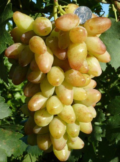виноград Артек