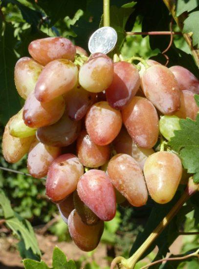 виноград Бонапарт