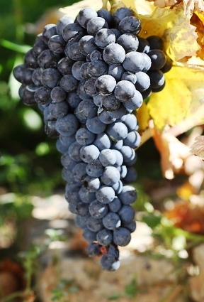 виноград Мавруд