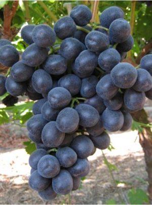 виноград Кишмиш Летний Королевский