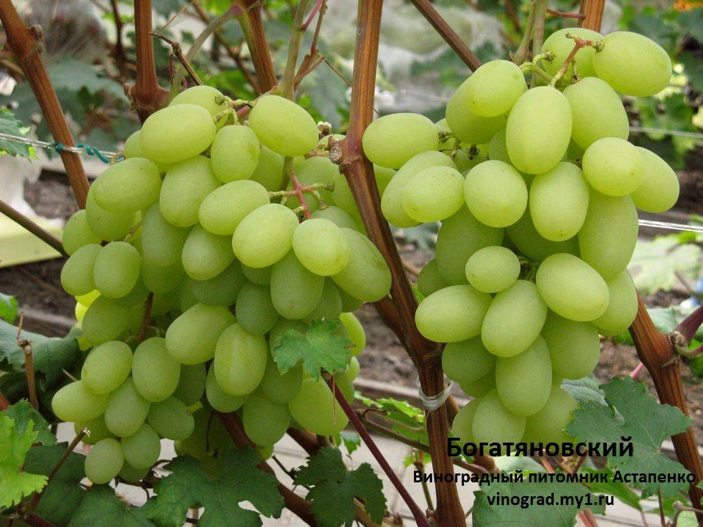 Виноград богатяновский  описание