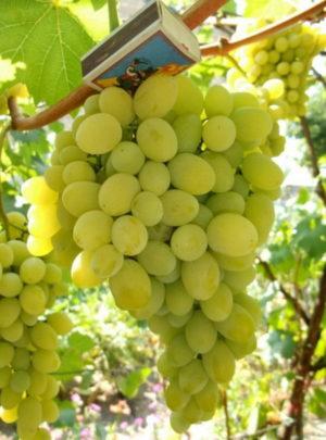 виноград Даша