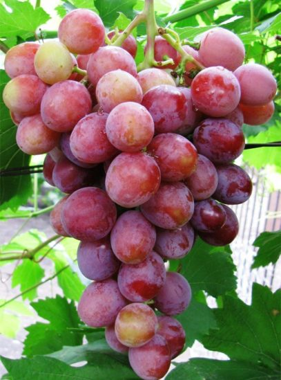 Виноград Дашуня