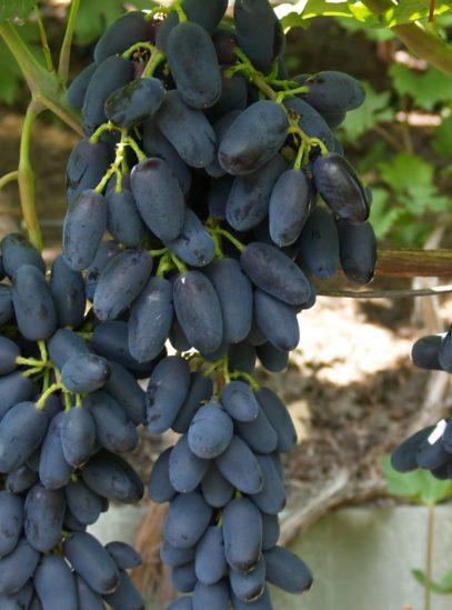 виноград Академик
