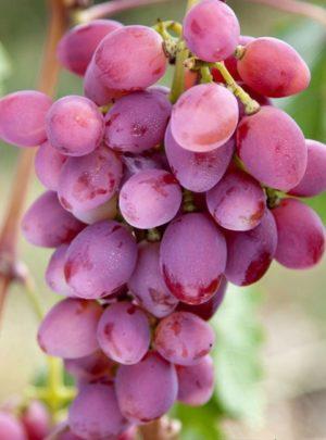 виноград Рута