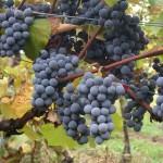 Виноград Кишмиш Аттика