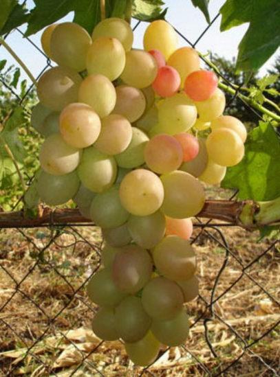 виноград Лия