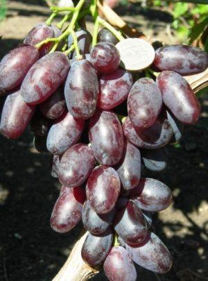 виноград Джовани