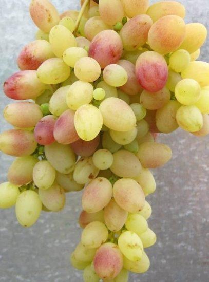 виноградТасон