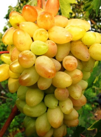 виноград Памяти Смольникова