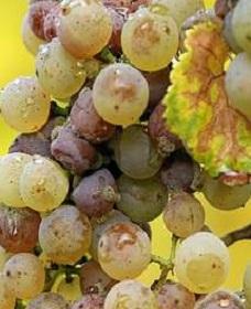 seraya-gnil-vinograda
