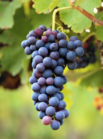 виноград 11-28-9, мускат беседочный