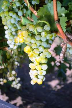 Виноград Виорика