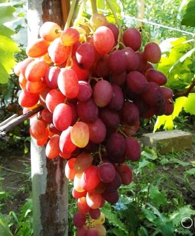 "виноград Анжелика ""Ксения"""