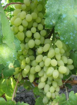 виноград Юбилей Платова
