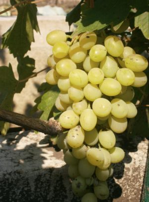 виноград Жостен